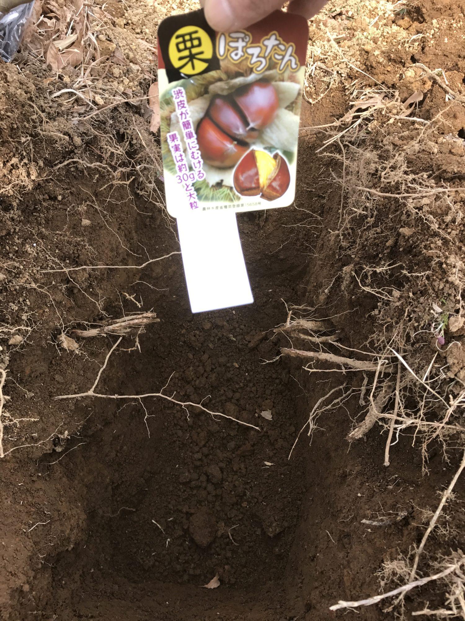 昨年植えた際に掘った深い穴