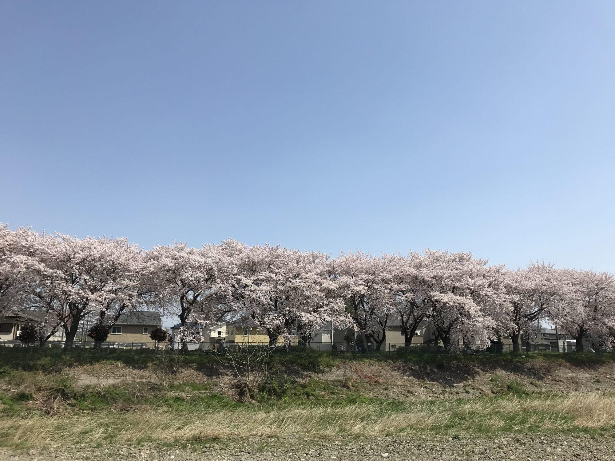 厚木小鮎側沿いの桜