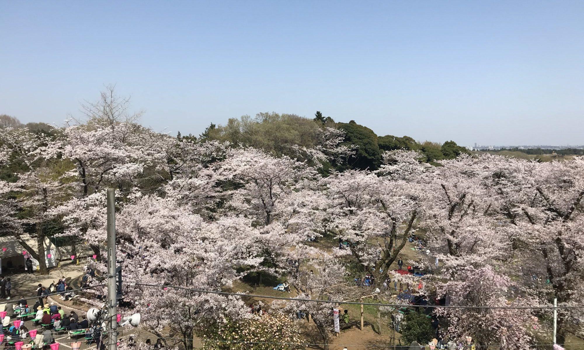厚木長谷寺からの桜ひろば