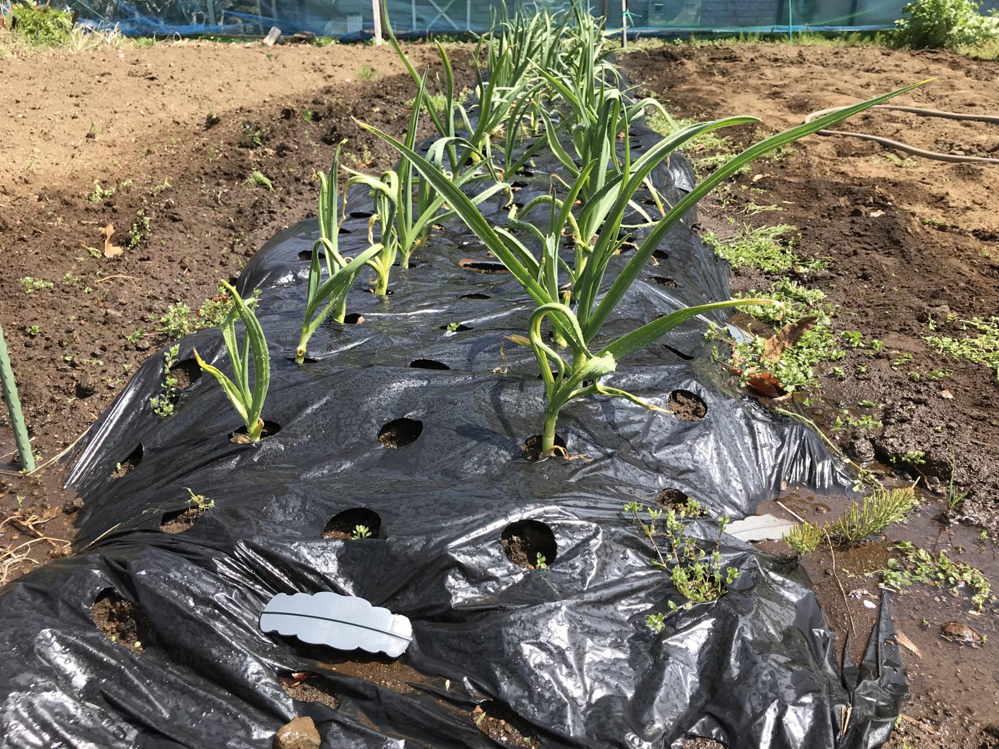 追肥潅水後のにんにく畑2号