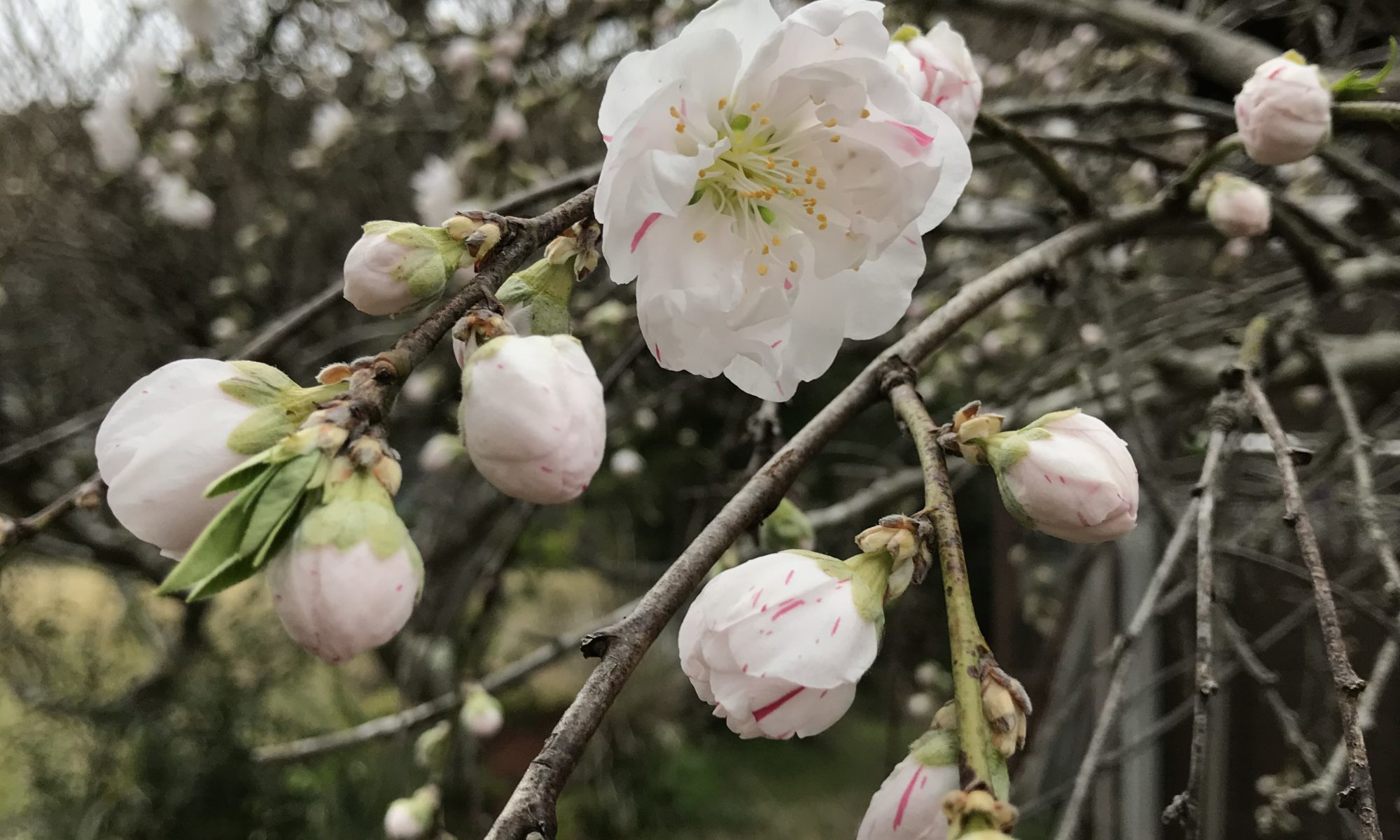 源平桜の花2
