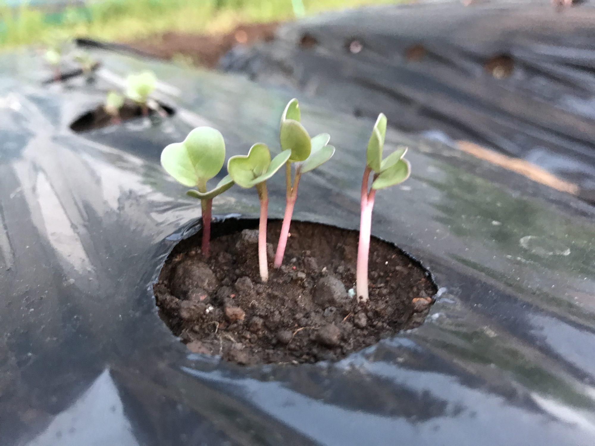 大根の芽、四人兄弟