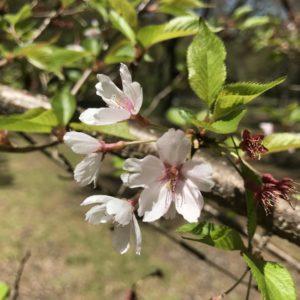 高遠桜の生き残り