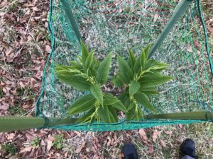 大きく育ってきたぽろたんの葉