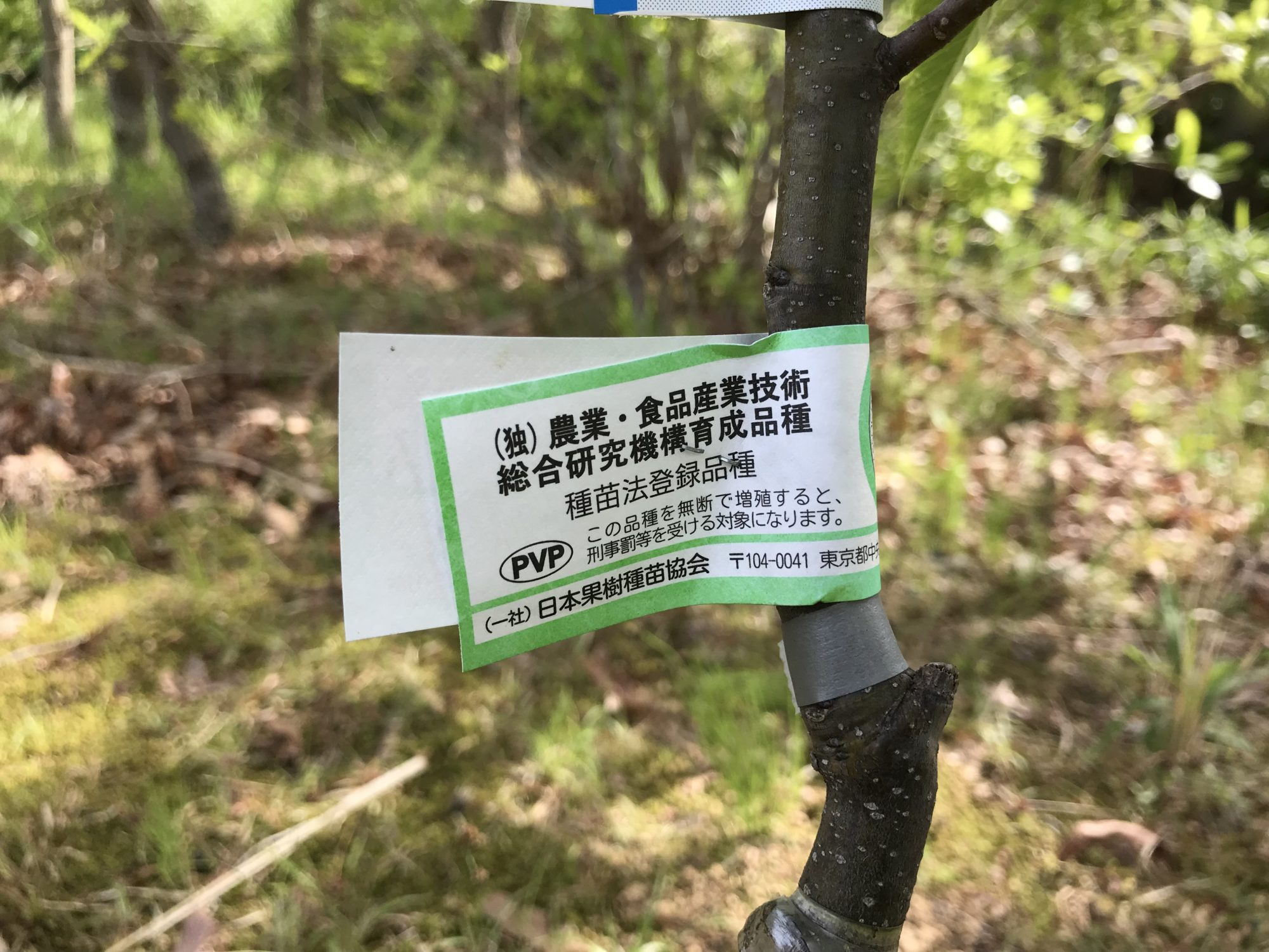 ぽろたんは農研機構で開発された新品種