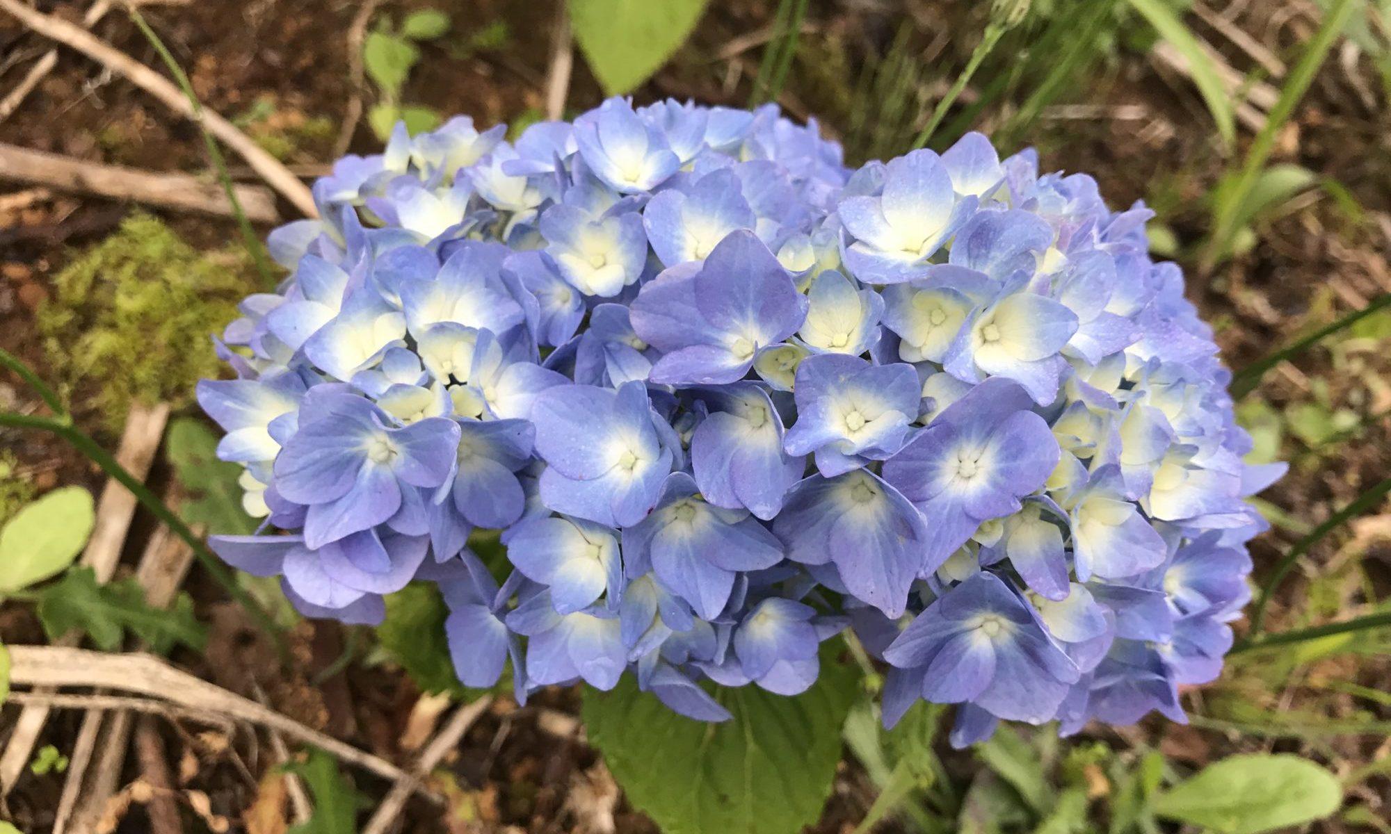 野に咲く紫陽花