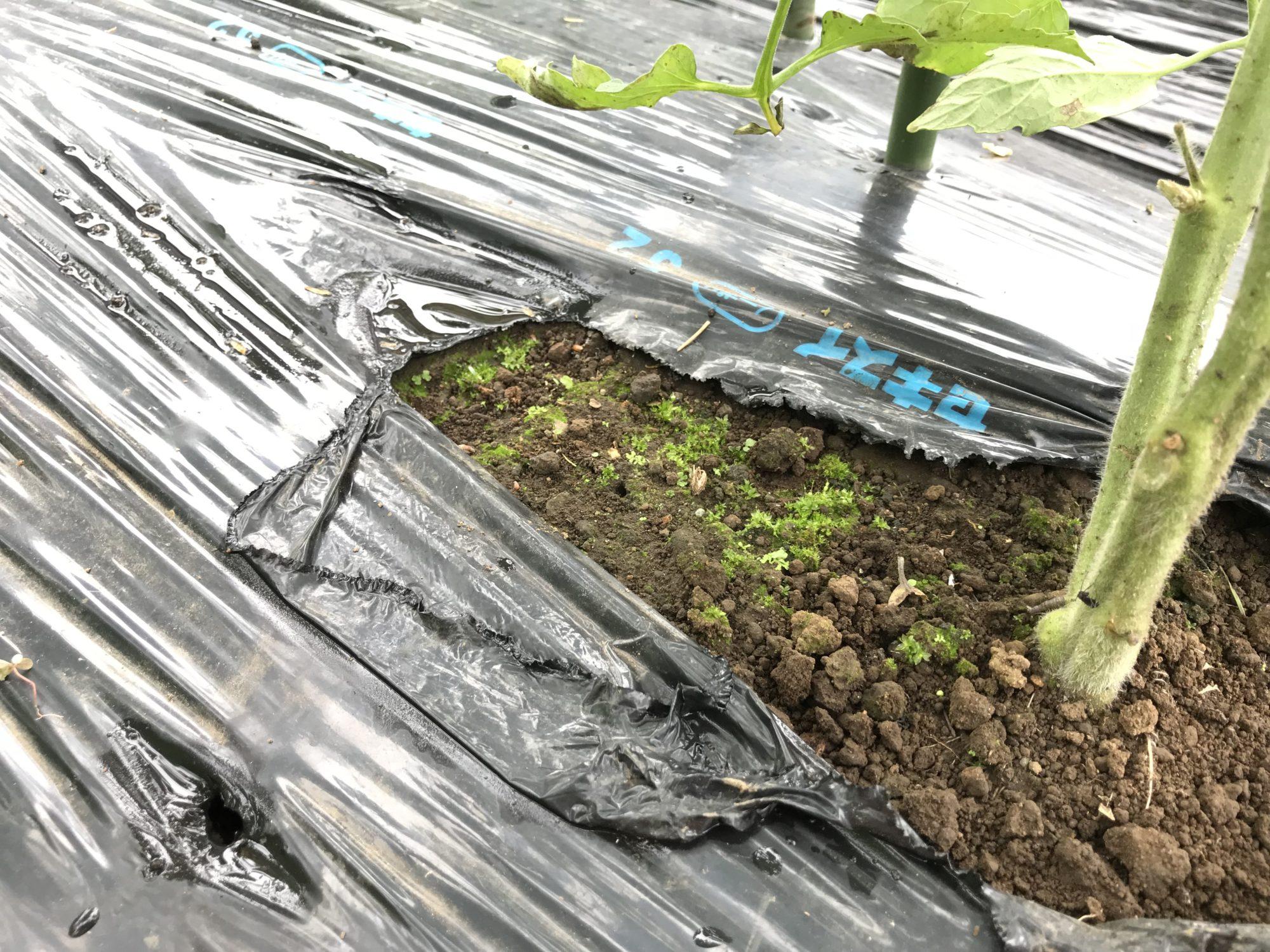 ミニトマトの根元に苔