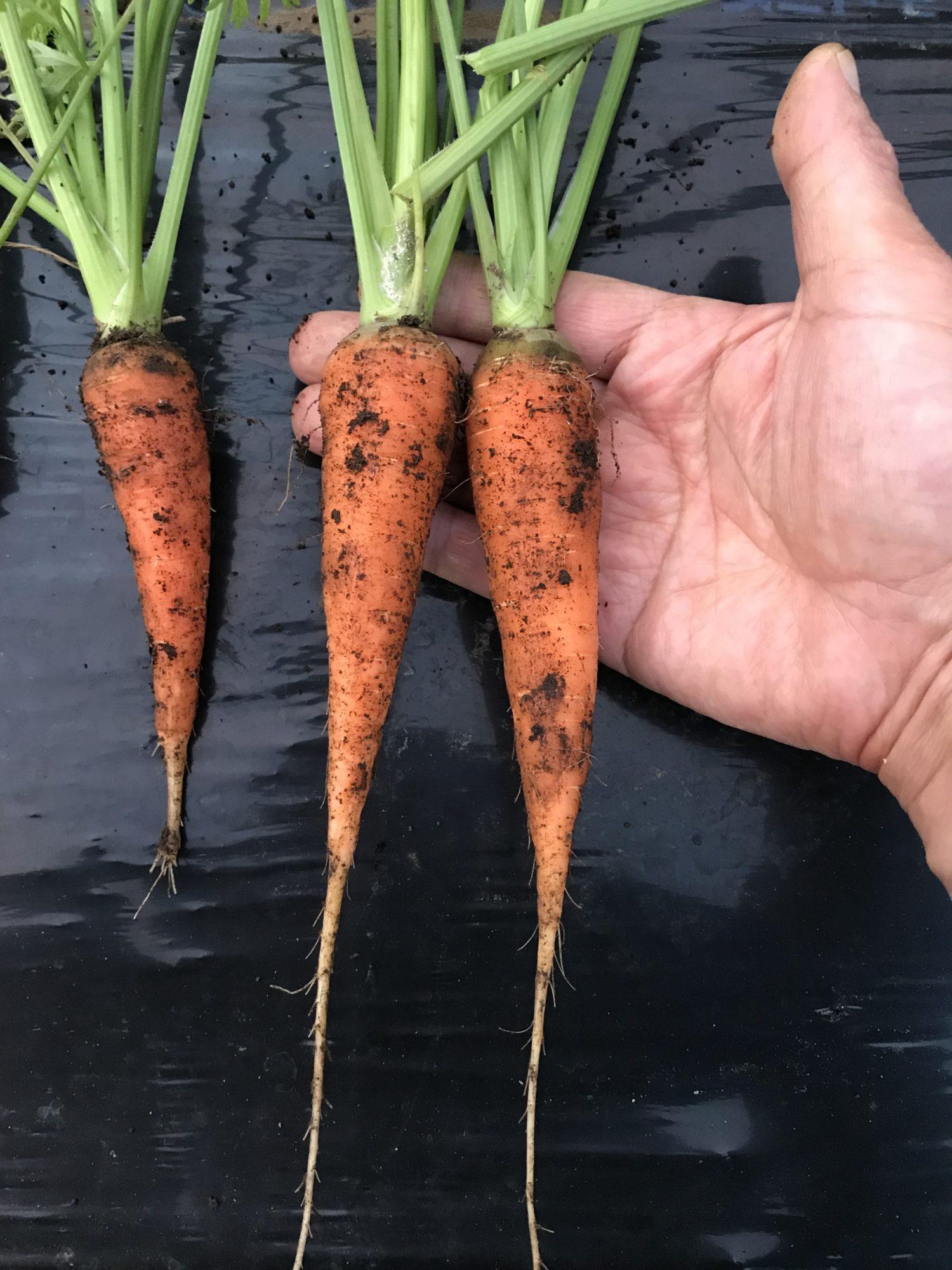 人参の収穫