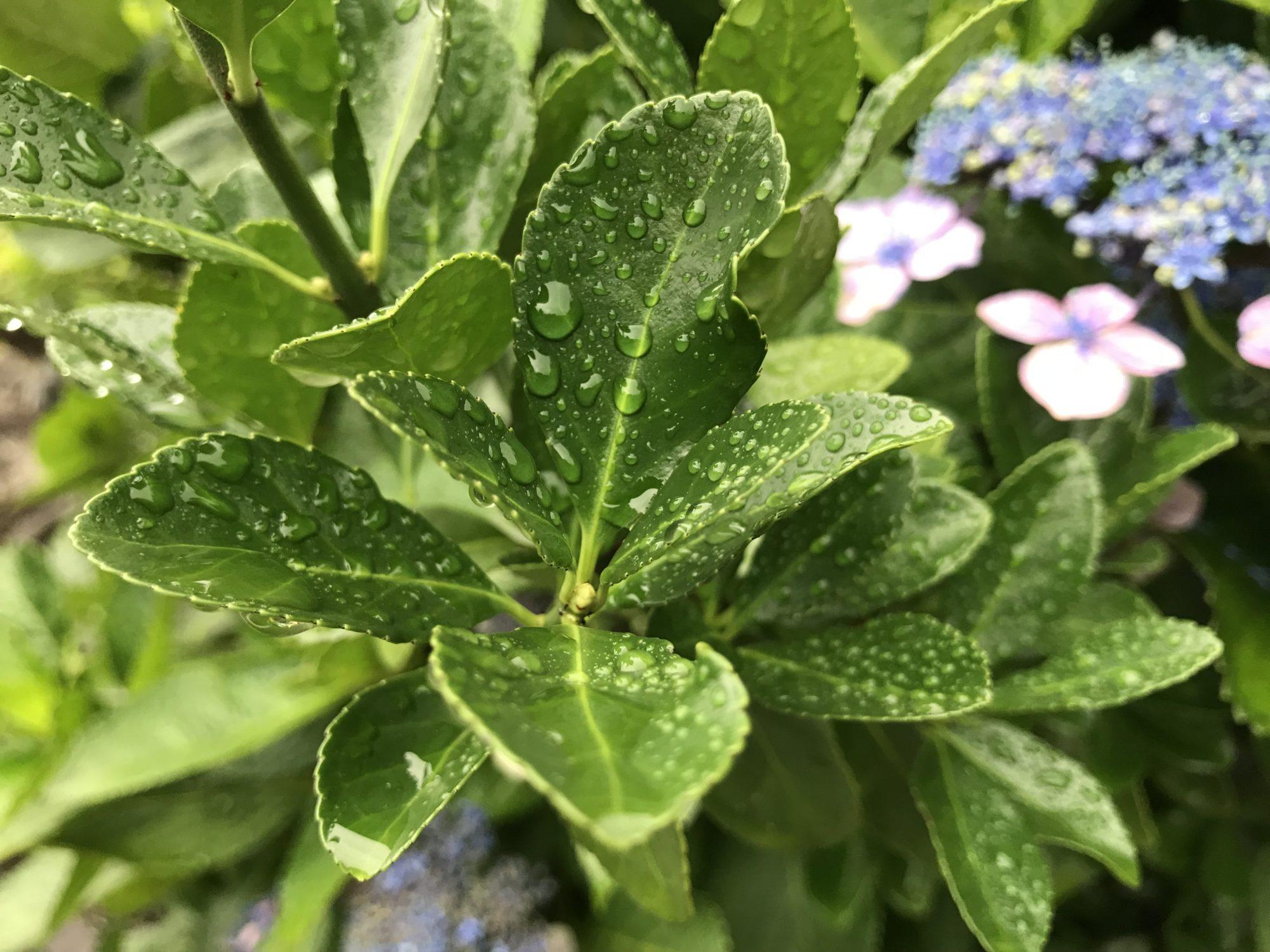 青々した葉と水滴