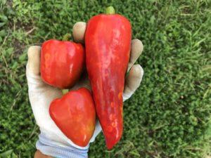 パプリカ初収穫