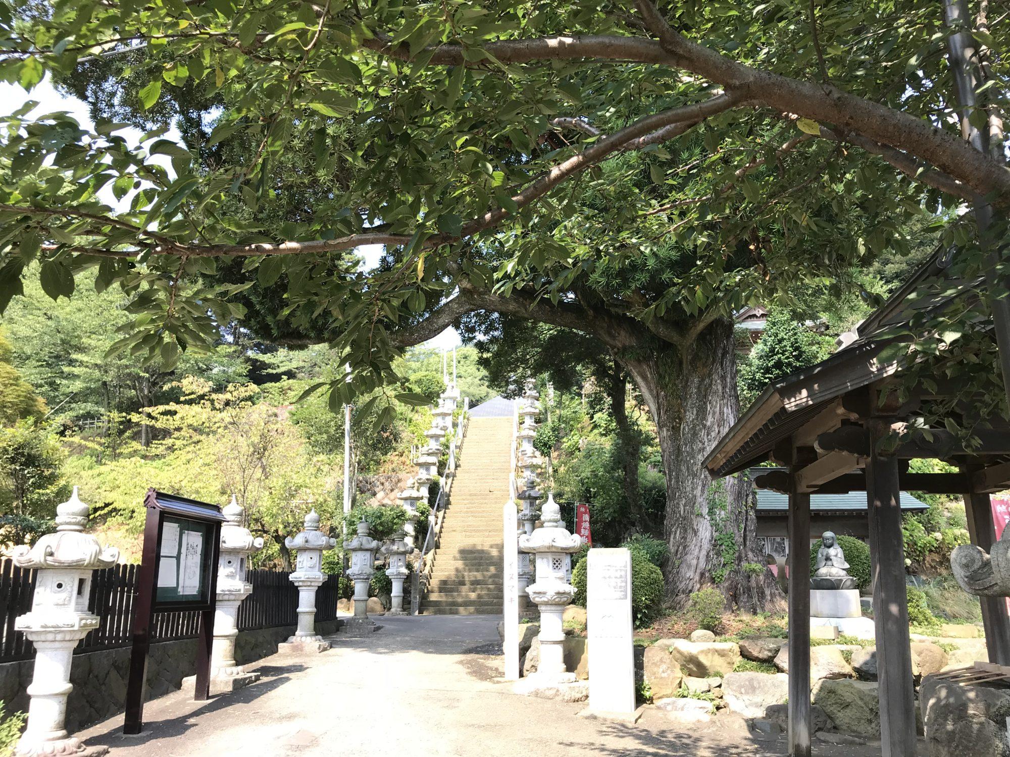 厚木飯山長谷寺イヌマキの木