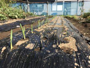 2018年10月21日第二菜園のにんいく