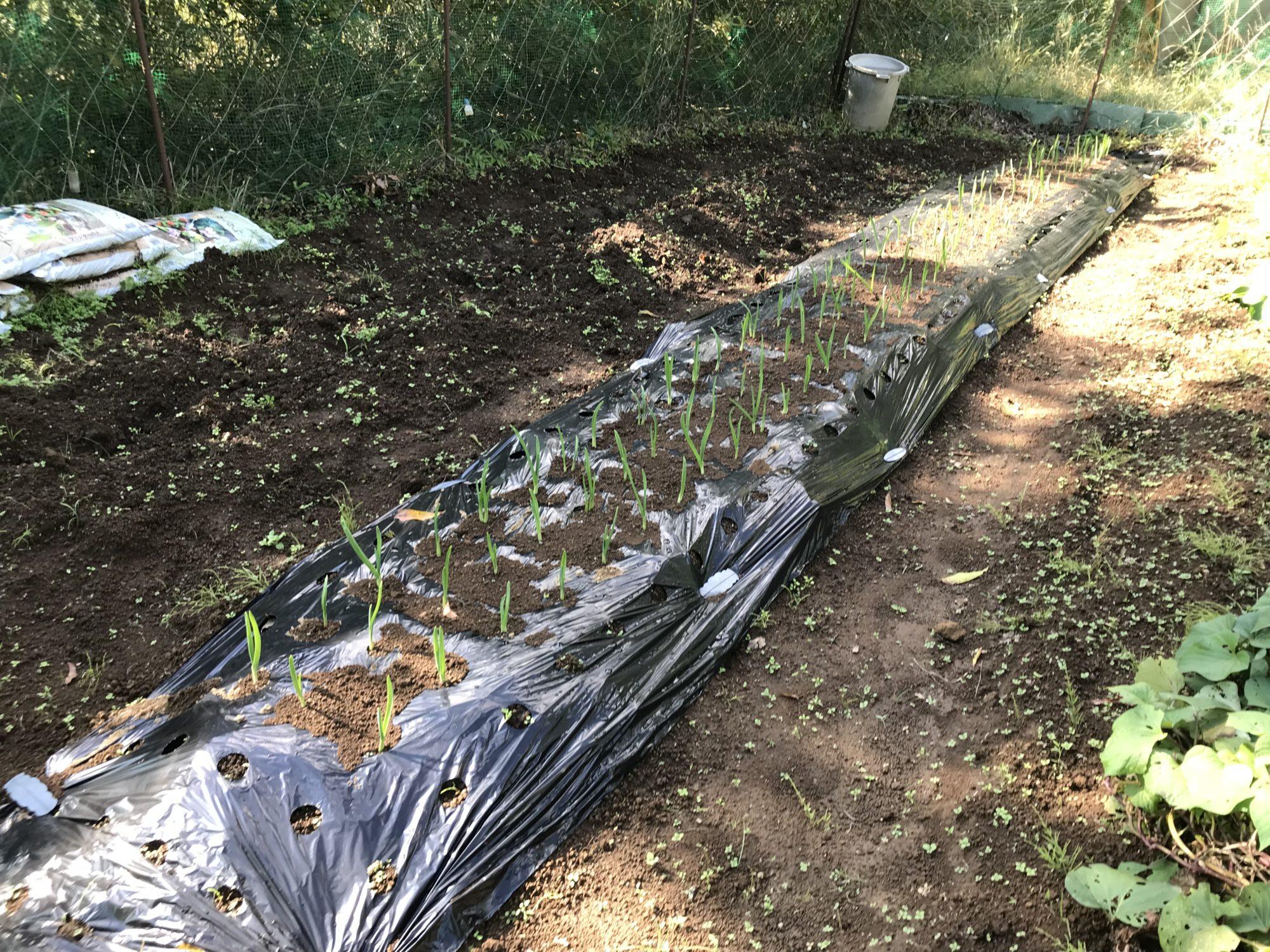2018年10月28日第一菜園のにんにく