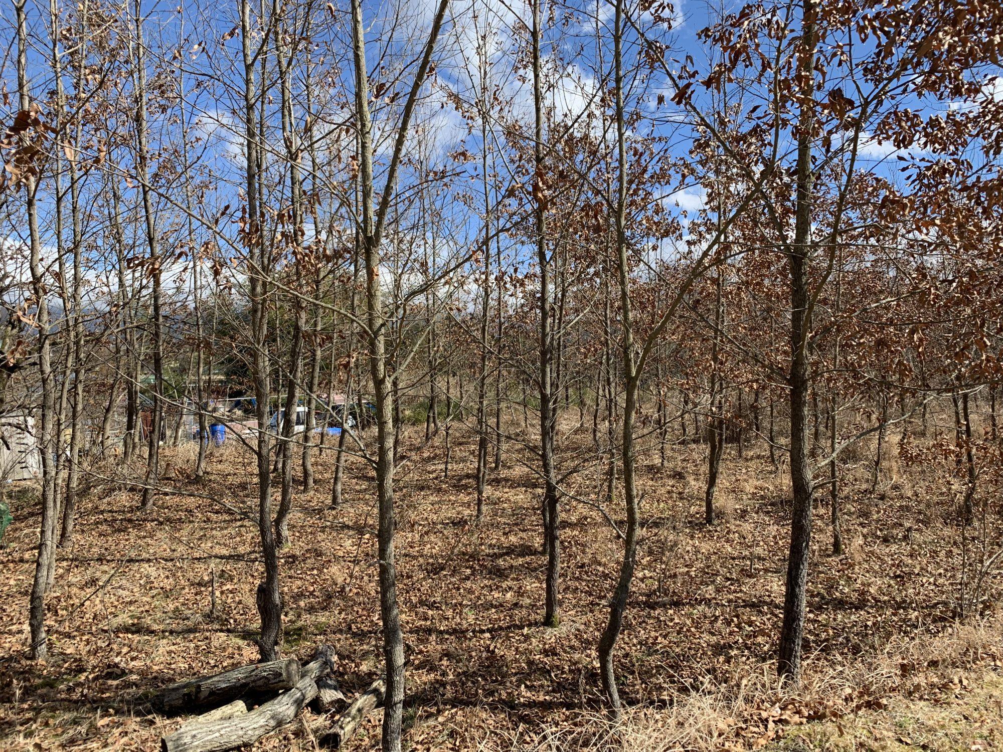 くぬぎの木の林