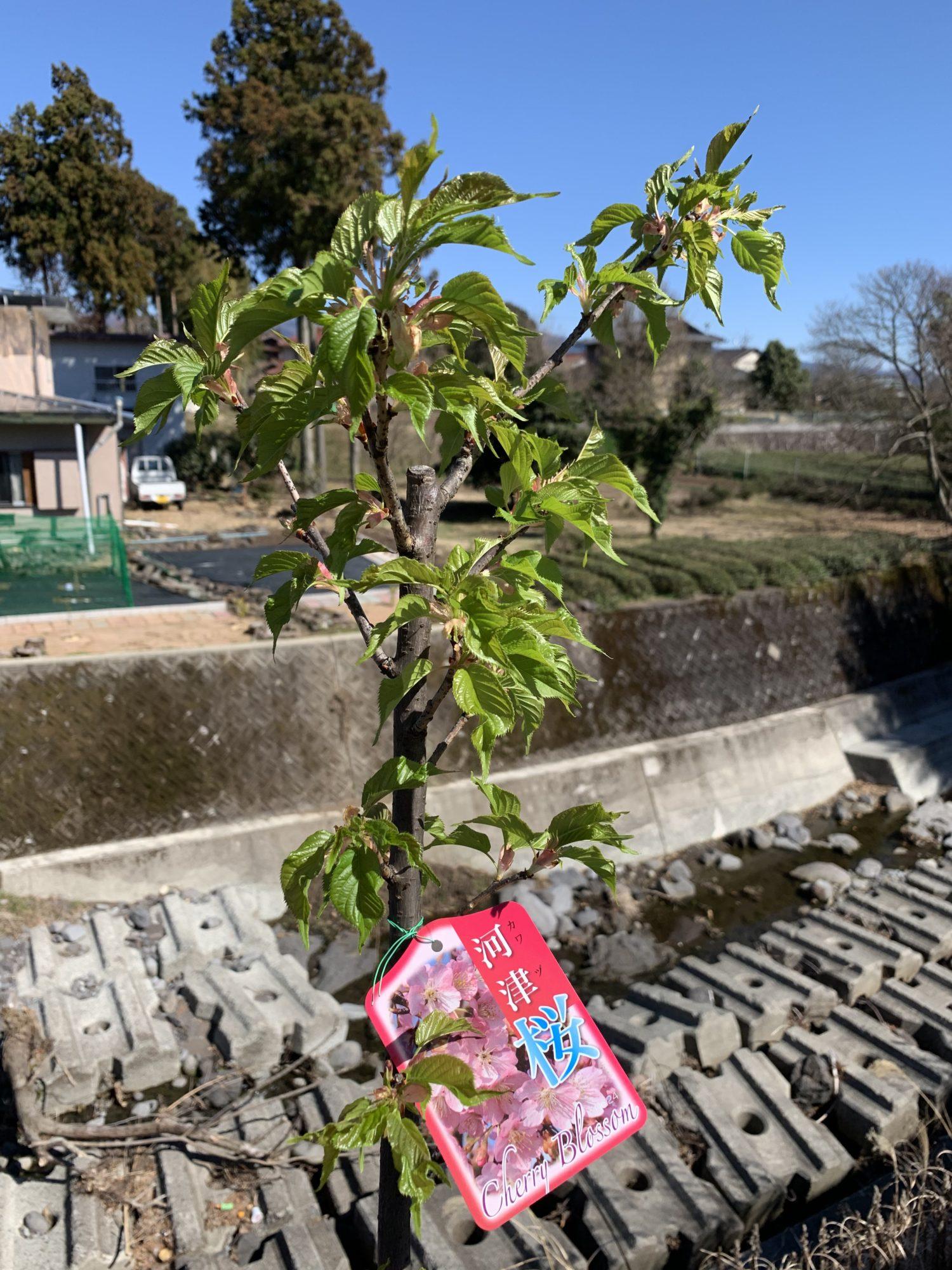 河津桜の苗木