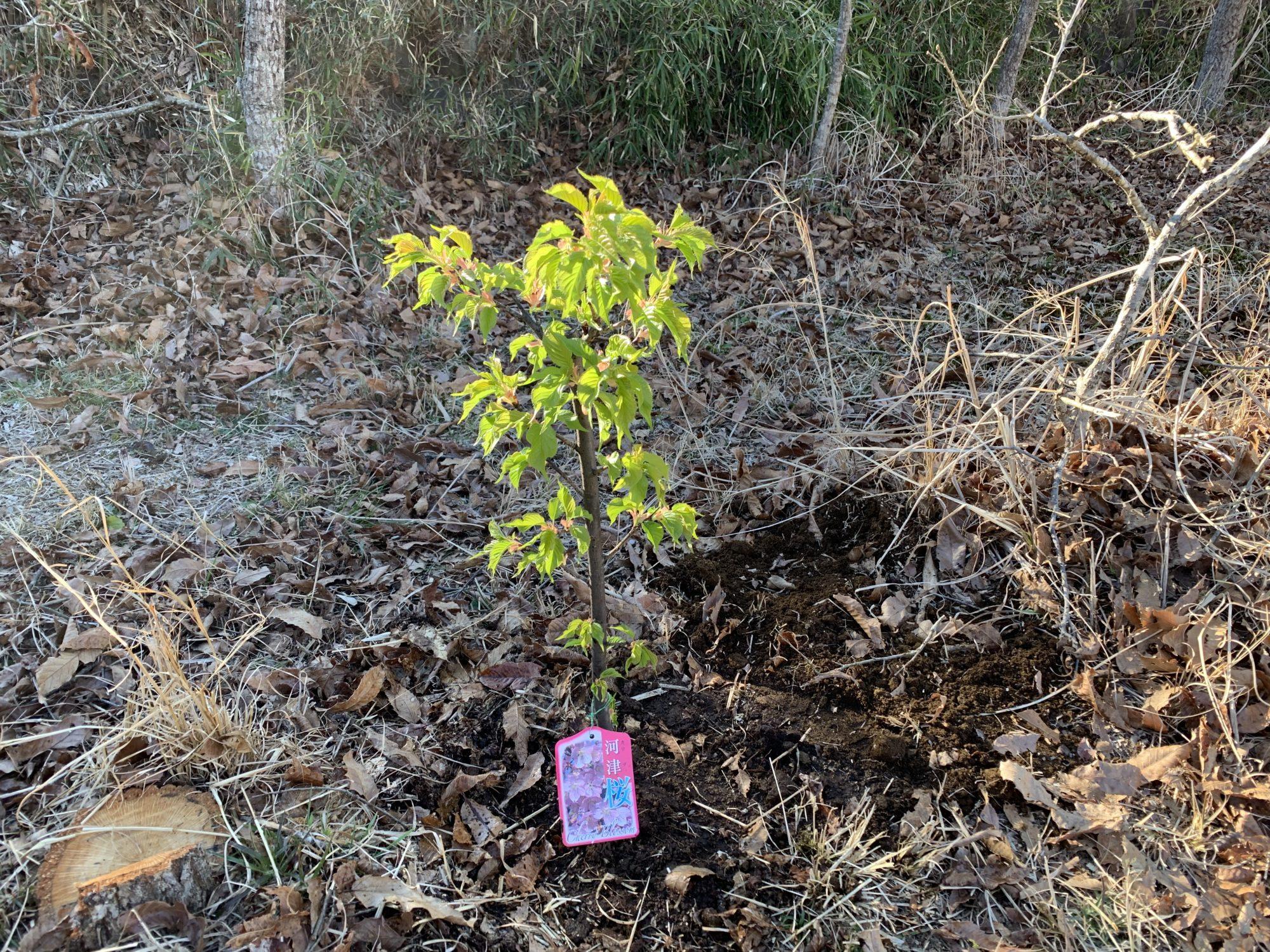 河津桜の苗木の定植