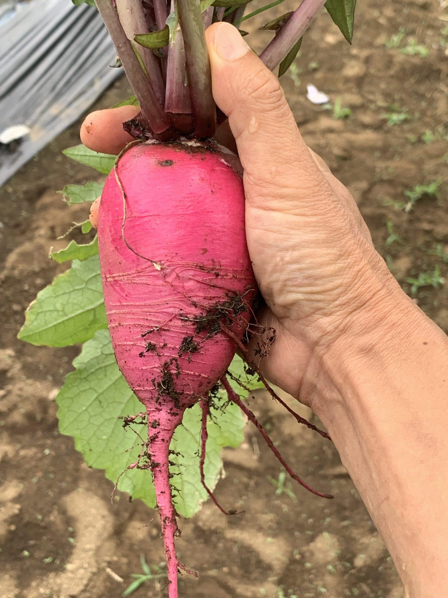 2019年初収穫した赤大根紅くるり